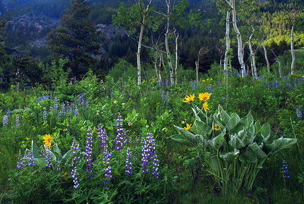 Lupine-and-Balsam